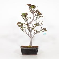 Cornus Florida - Cornouiller - 55 cm