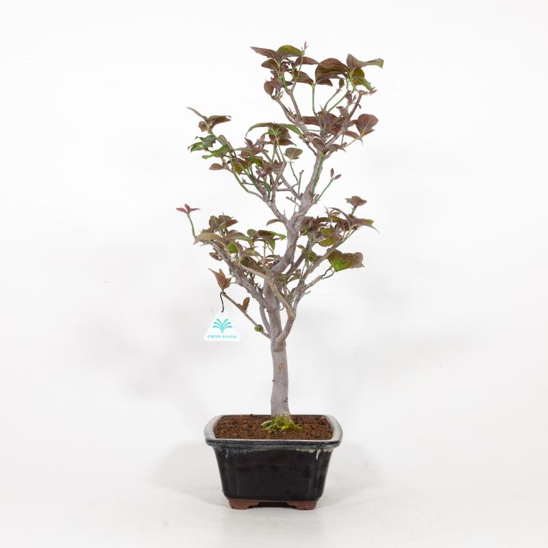 Cornus Florida - Dogwood - 55 cm
