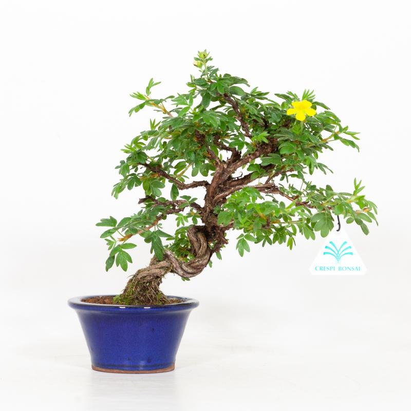 Potentilla fruticosa - 25 cm