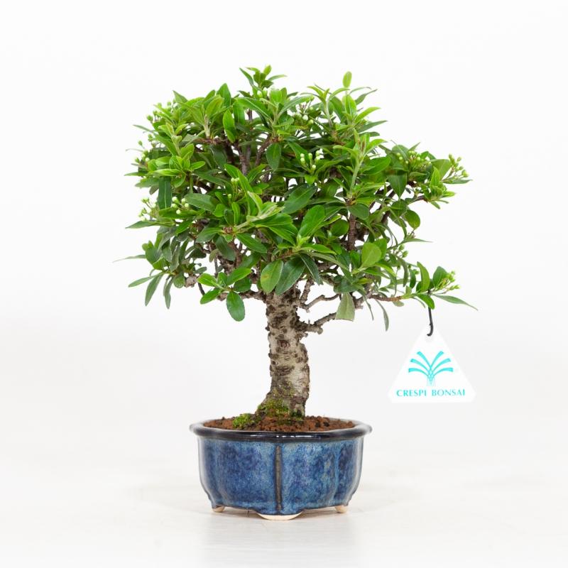 Pyracantha - 24 cm