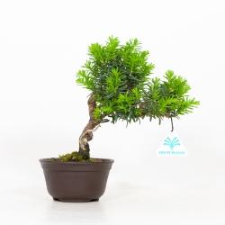 Taxus cuspidata - If du Japon - 23 cm