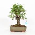 Ulmus parviflora - Olmo - 25 cm