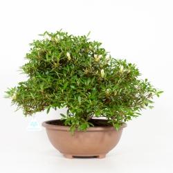 Rhododendron Indicum Hinomaru - Azalea - 41 cm