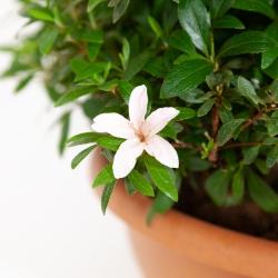 Rhododendron Indicum Hinomaru - Azalea - 42 cm