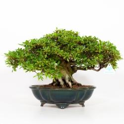 Rhododendron Indicum Otome-no-Taki - Azalée Var. Otome-no-Taki - 35 cm