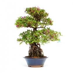 Rhododendron Indicum - Azalea - 68 cm