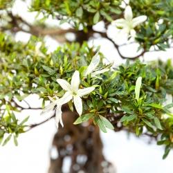 Rhododendron Indicum Hakurin - Azalée - 59 cm