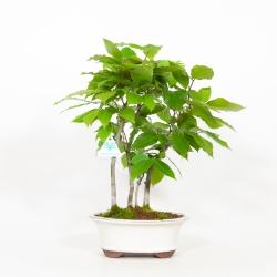 Fagus crenata - Faggio - 45 cm