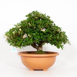 Rhododendron Indicum Hinomaru - Azalea - 44 cm