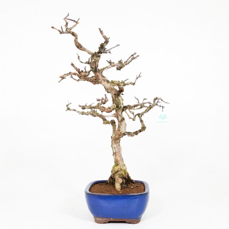Rosa hirtula - 62 cm