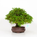 Rhododendron Indicum Sachi-No-Tsukasa - Azalea - 32 cm