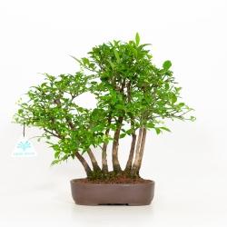 Euonymus alatus - Evonimo alato - 30 cm