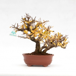 Punica granatum - Pomegranate - 31 cm