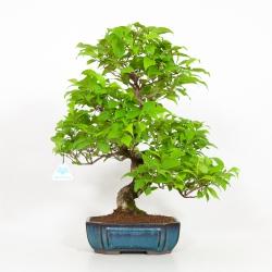 Callicarpa japonica - 48 cm