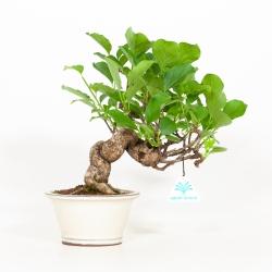 Celastrus orbiculatus - Celastro - 27 cm