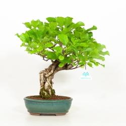 Celastrus orbiculatus - Celastro - 35 cm