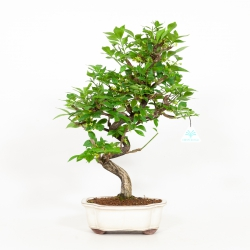 Euonymus alatus - Spindle - 49 cm
