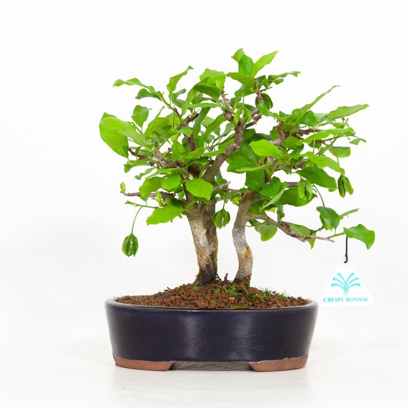 Diospyros kaki - Cachi - 25 cm