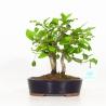 Diospyros kaki - Oriental persimmon - 25 cm