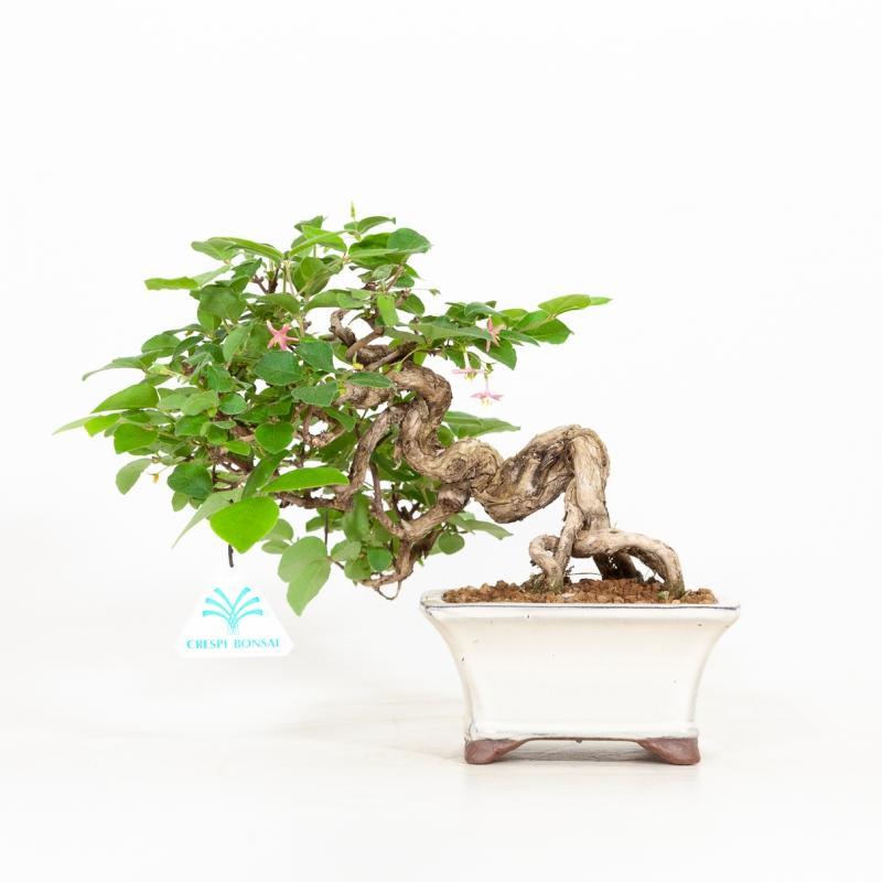 Lonicera gracilipes - 22 cm