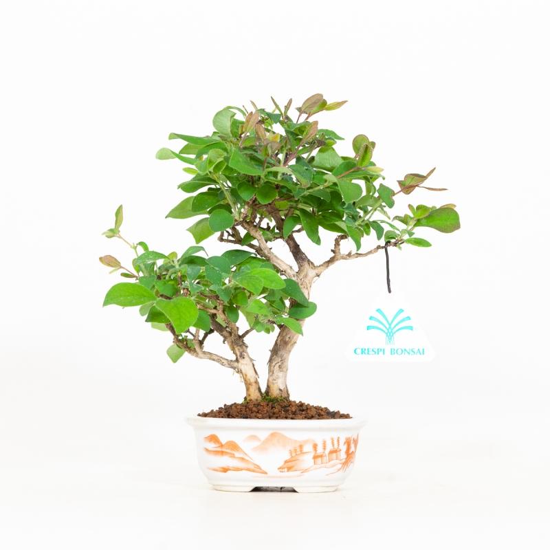 Lonicera Gracilipes glabra - 21 cm