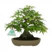 Acer palmatum - maple - 20 cm