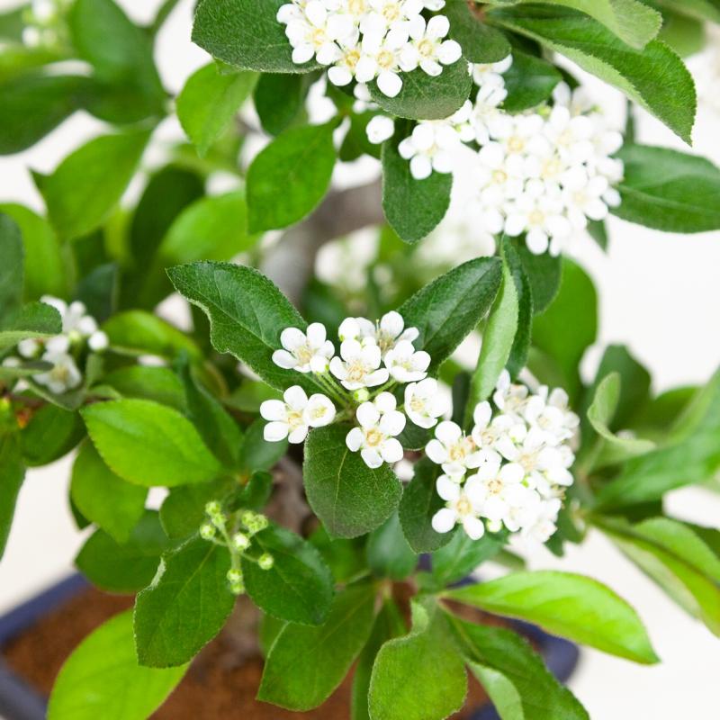 Pourthiaea villosa - 30 cm