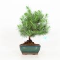 Pino halepensis - 28 cm