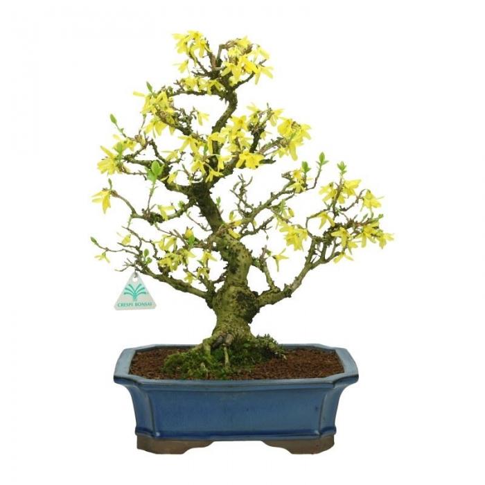 Forsythia - Forsizia - 42 cm