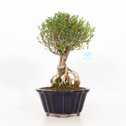 Serissa japonica - 34 cm