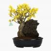 Forsythia - Forsizia - 43 cm