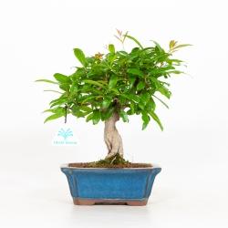 Punica granatum - Pomegranate - 23 cm