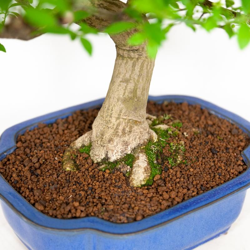 Euonymus - Evonimo - 55 cm