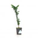 Chamaecyparis obtusa sekka - False cypress - 36 cm