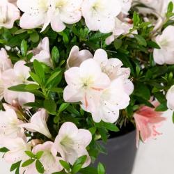 Azalea Sachi-no-Izumi - 38 cm