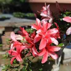 Rhododendron Indicum - Azalea - 54 cm