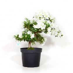 Azalea Sachi-no-izumi - 46 cm - KB06