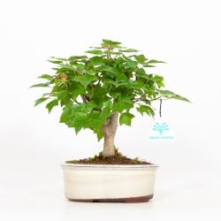 Acer buergerianum - Acero - 25 cm
