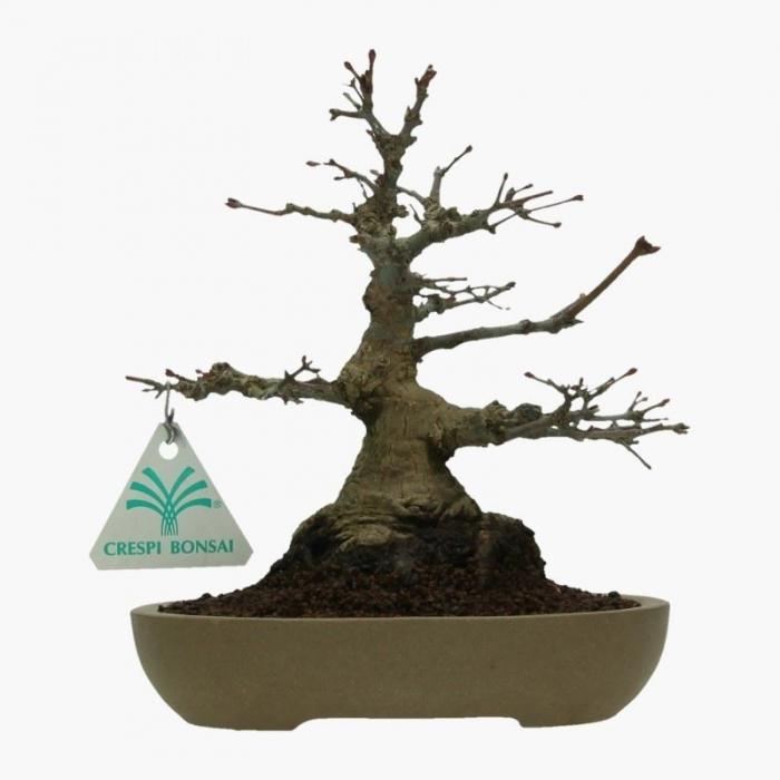 Acer palmatum - acero - 20 cm
