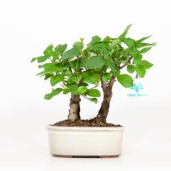 Syringa vulgaris - Lillà - 21 cm