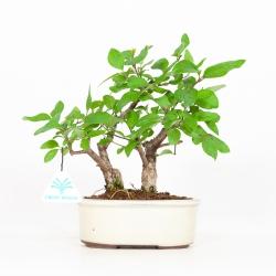 Syringa vulgaris - Lilas - 23 cm