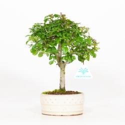 Fraxinus - Frêne - 26 cm