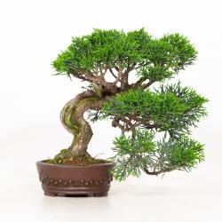 Juniperus chinensis - Ginepro - 19 cm