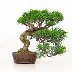 Juniperus chinensis - Juniper - 19 cm