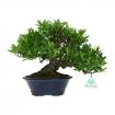 Gardenia jasminoides - 27 cm