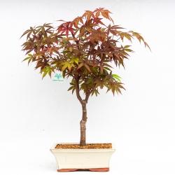 Acer palmatum Nomura - Acero - 36 cm