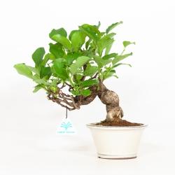 Celastrus orbiculatus - 27 cm