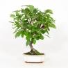 Malus everest - Apple tree - 42 cm
