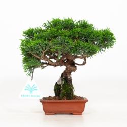 Juniperus chinensis - Genévrier de Chine - 18 cm