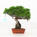 Juniperus chinensis - Ginepro - 18 cm
